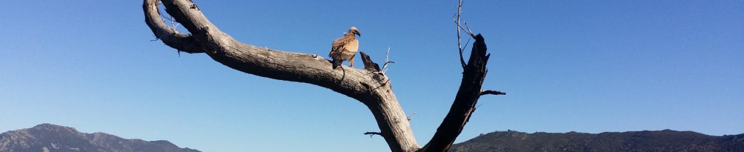 Le vautour (U altore, U astoru)